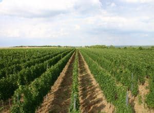 Kalazić – Best that the mother of wines has to offer!