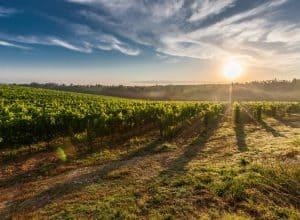 Meet Graševina – Absolute Queen of the Croatian Vineyards