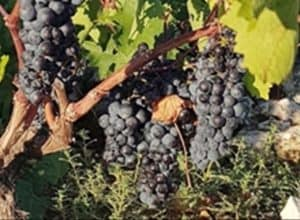 Babić Wine – A Little black giant from Primošten